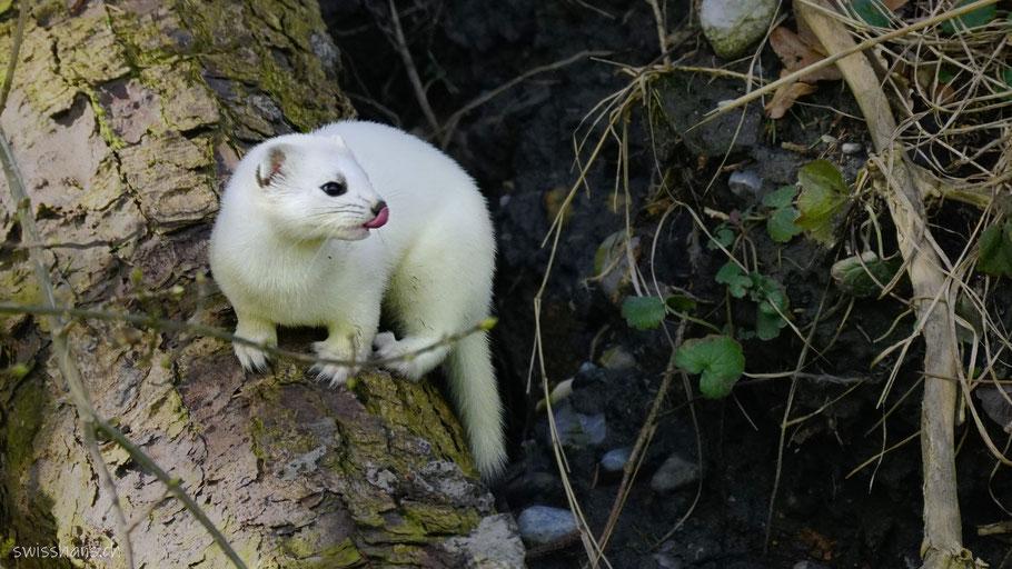 Weisses Hermelin auf einem Baumstamm im Rheintal leckt sich die Nase