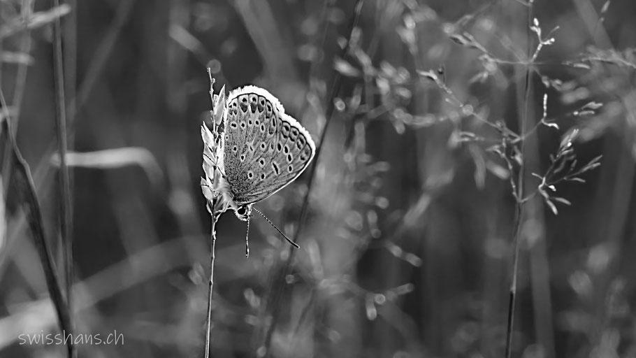 Schmetterling auf einem Grashalm im Altstätter Riet