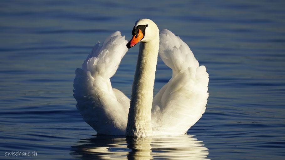 Weisser Schwan auf dem Bodensee stellt seine Federn auf.