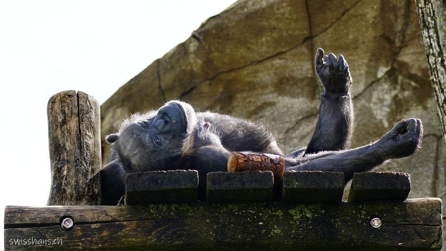 Schimpanse im Walter Zoo Gossau liegt an der Sonne