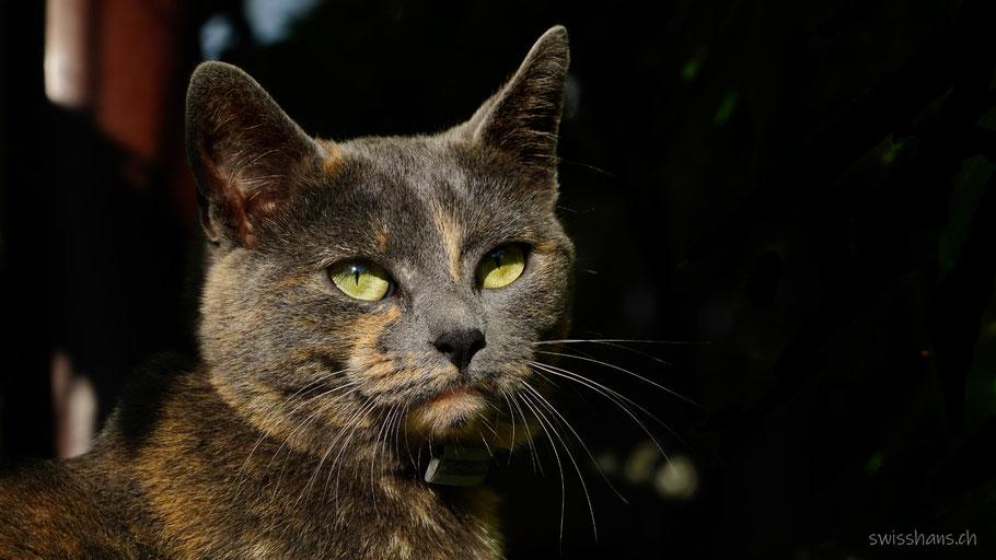 Portrait einer schön marmorierten jungen Katze