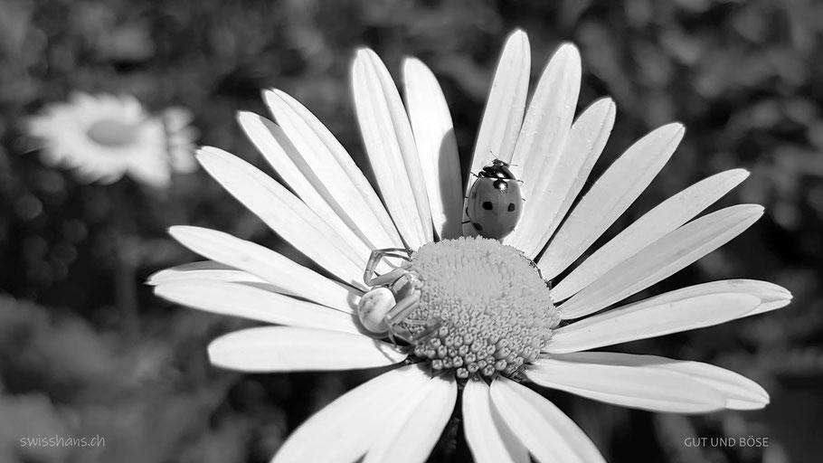 Spinne und Marienkäfer auf einer Margarite