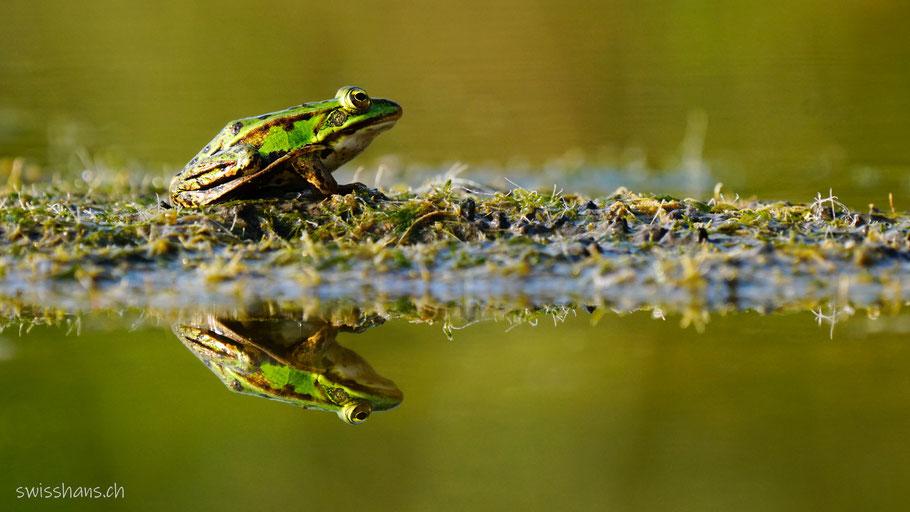 Grüner Frosch auf einem Moosstreifen spiegelt sich im Teich der Schollenmühle in Altstätten