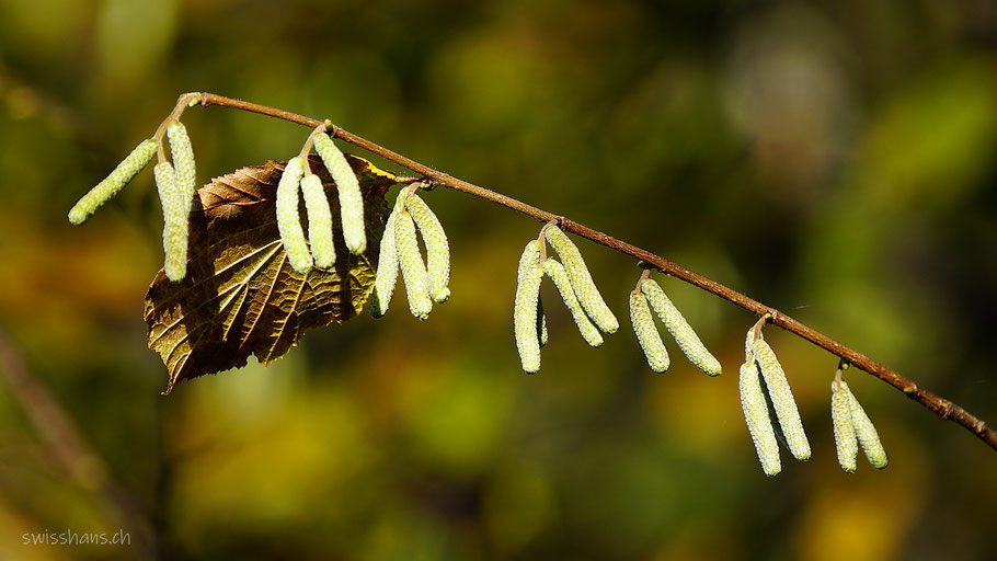Nahaufnahme von Haselkätzchen mit braunem, herbstlichen Hintergrund