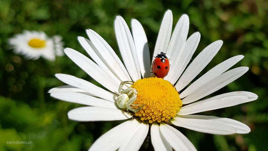 Blüte einer weissen Margarithe mit einem Marienkäfer und einer Spinne darauf. Nahaufnahme
