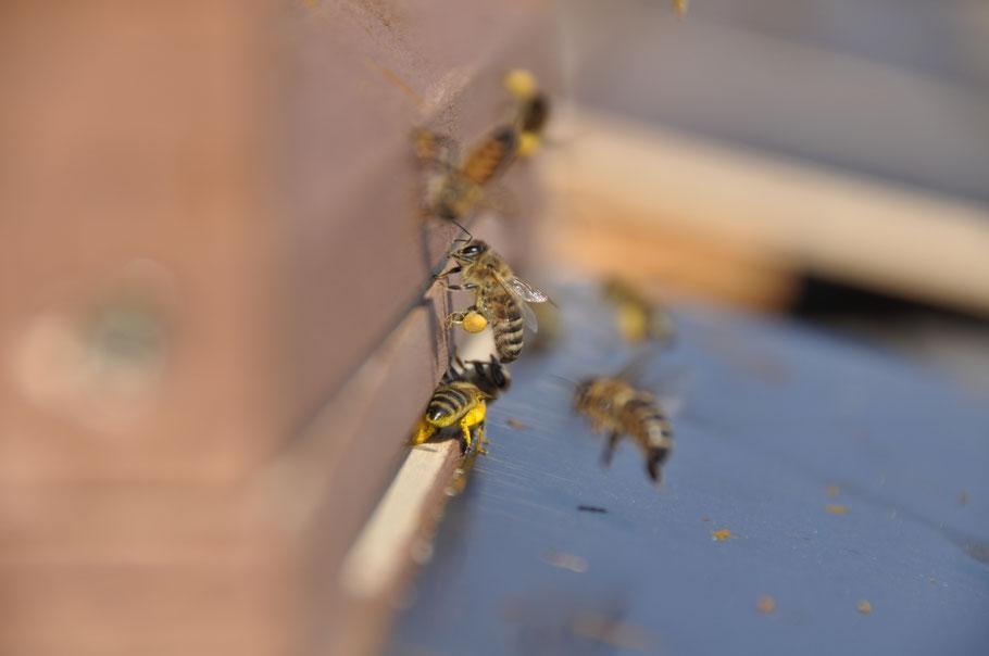 Mit Rapspollen beladene Honigbienen am Einflugloch des Bienenstocks.
