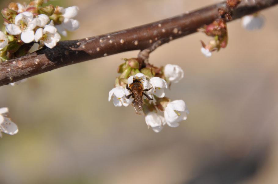 Honigbiene in einer Obstblüte auf dem Hof.