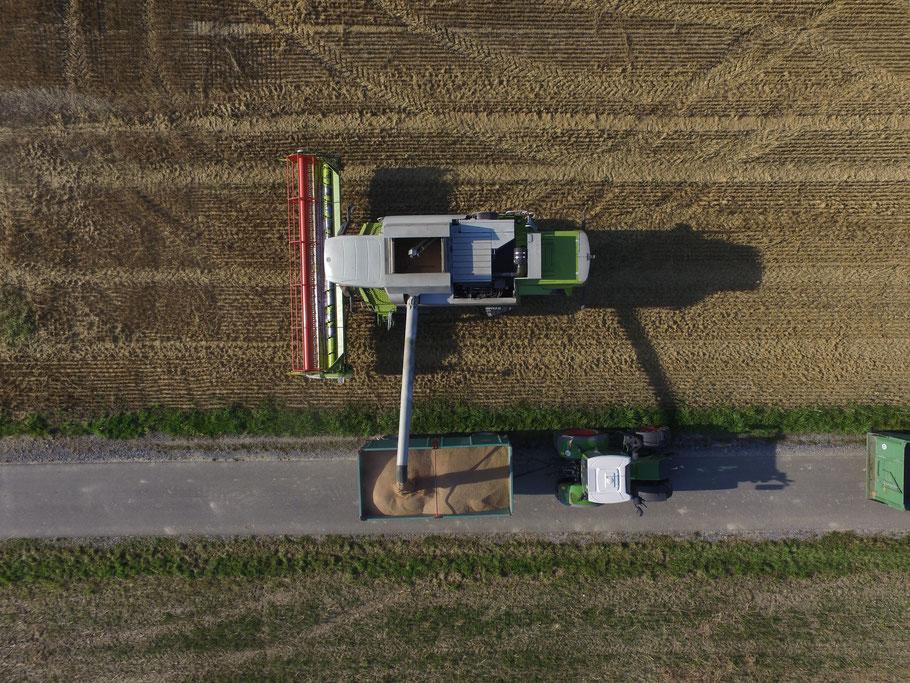 Entladen des Getreidebunkers des Mähdreschers in der Weizenernte.