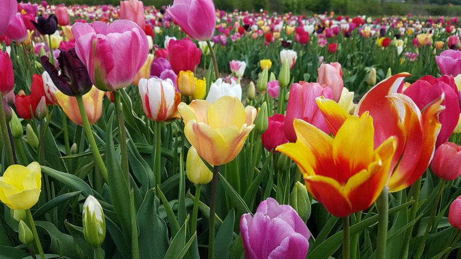 Überblick über einige unserer Tulpen im Frühling.