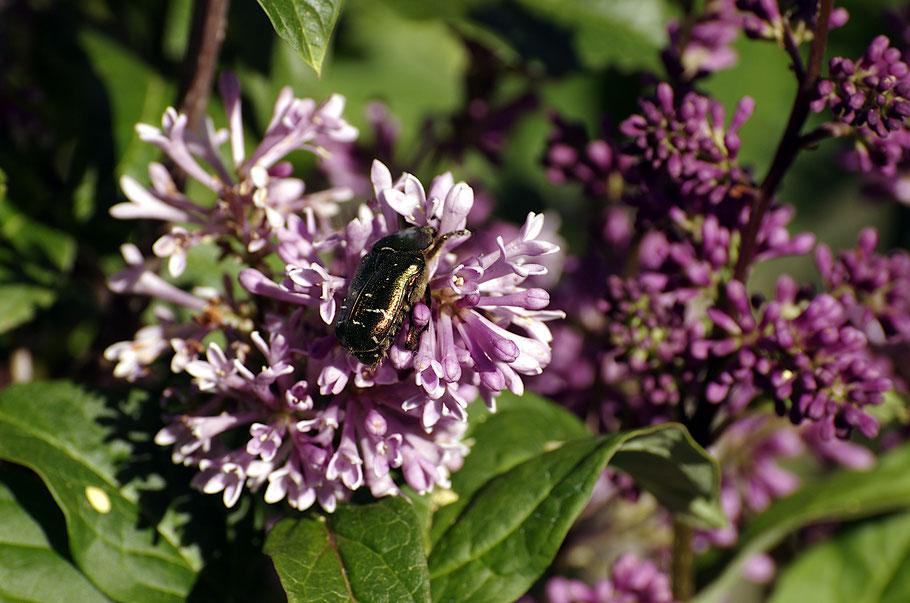 Der Goldglänzende Rosenkäfer ist ab Mai in den Gärten unterwegs. Der smaraktgrüne Käfer ernährt sich von Pollen und Blüten. Er steht unter Naturschutz