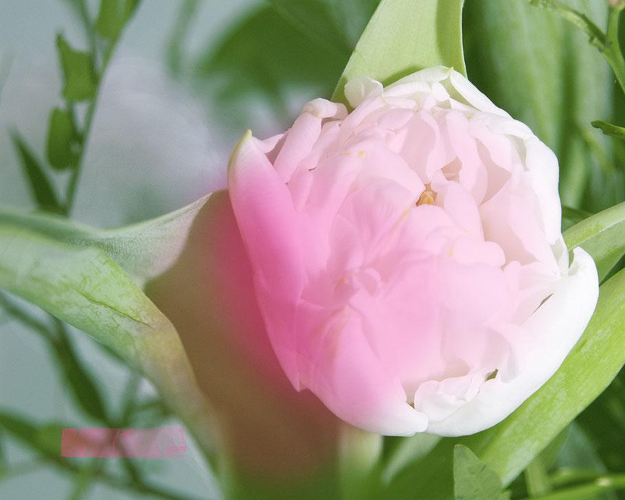 Ein rosarot leuchtende GÄNZEBLÜMCHEN-Tulpe