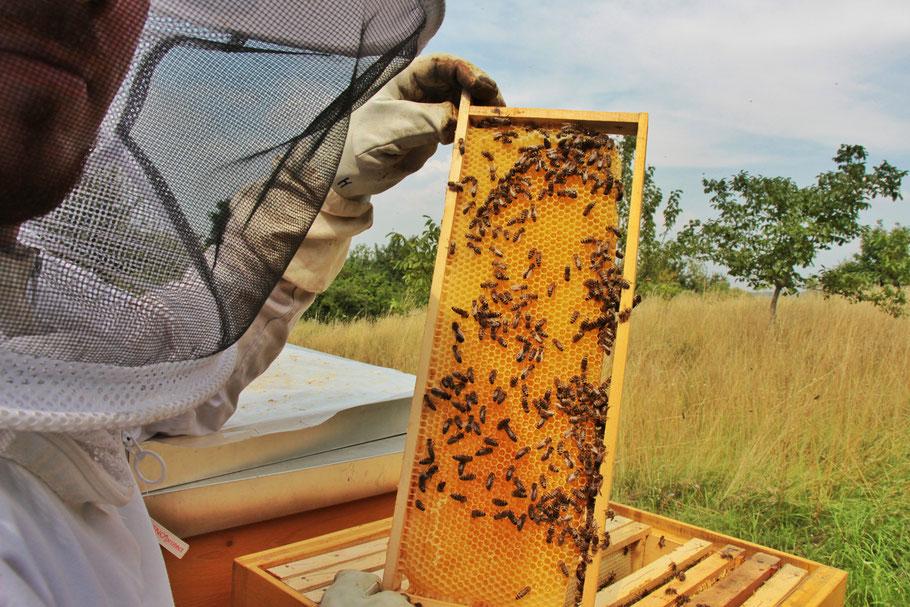 ...eine Durchsicht, ob das Bienenvolk gesund ist, ist immer wichtig. Hier ein junges Bienenvolk, eine mit Honig gefüllte Bienenwabe