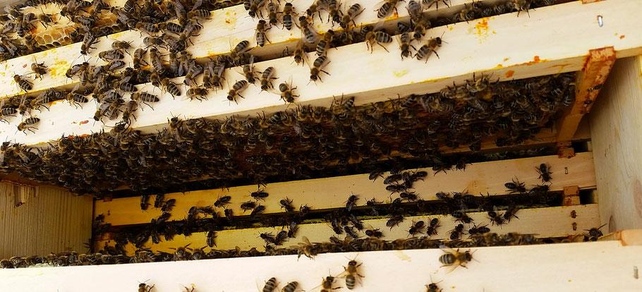 .....ein schöner Anblick, so ein vitales Bienenvolk