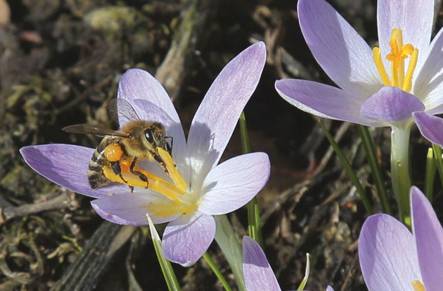 2018 waren die Bienen bereits am 13. März unterwegs (Aufnahmedatum des Bildes) ...