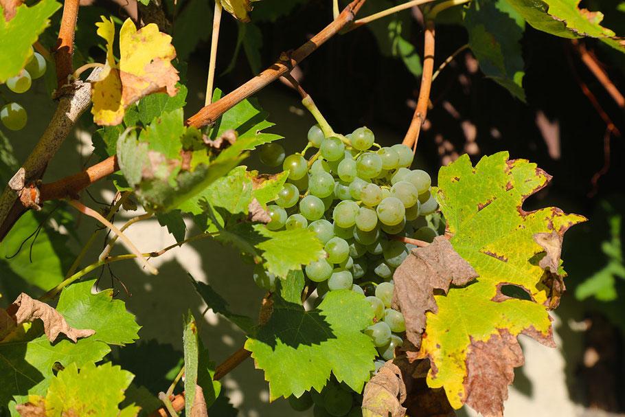 Weißwein dominiert in Niederösterreich.
