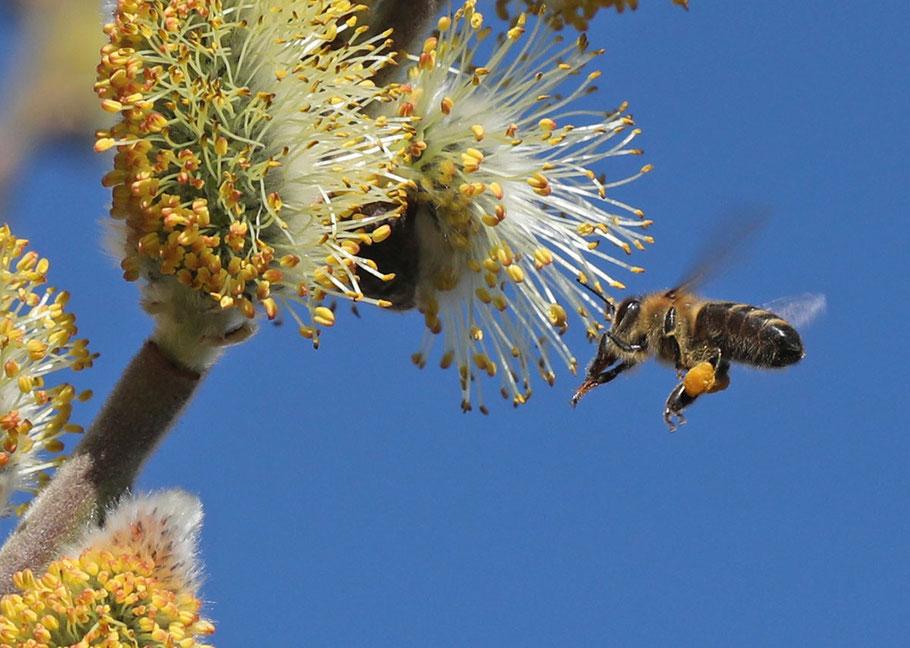 ... und genau vor einem Jahr besuchte diese Biene das Palmkatzerl (16. März).