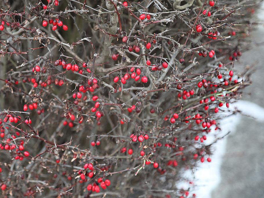 Die Beeren der Berberitze (Sauerdorn) bleiben bis tief in den Winter an den Sträuchern. Bild: © Josef Pfleger