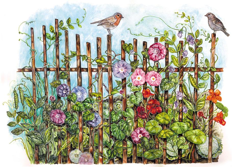 """Winden am Gartenzaun Illustration aus """"Mein wunderbarer Küchengarten"""" ars Edition 2016 © Caroline Ronnefeldt"""