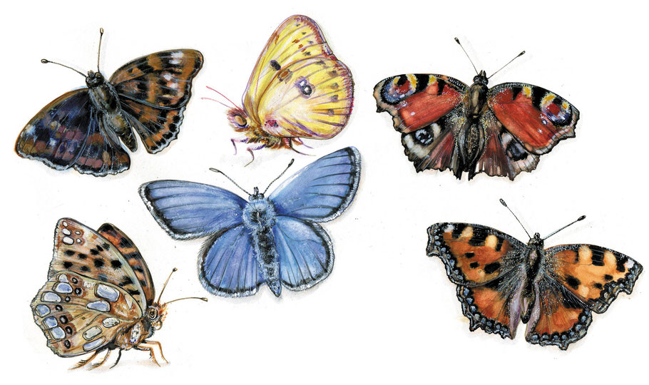 Schmetterlinge Aquarell © Caroline Ronnefeldt