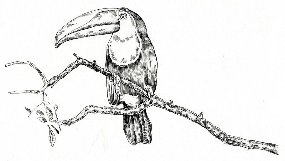 Tukan, Pfefferfresser für Rausch Schokolade Federzeichnung © Caroline Ronnefeldt