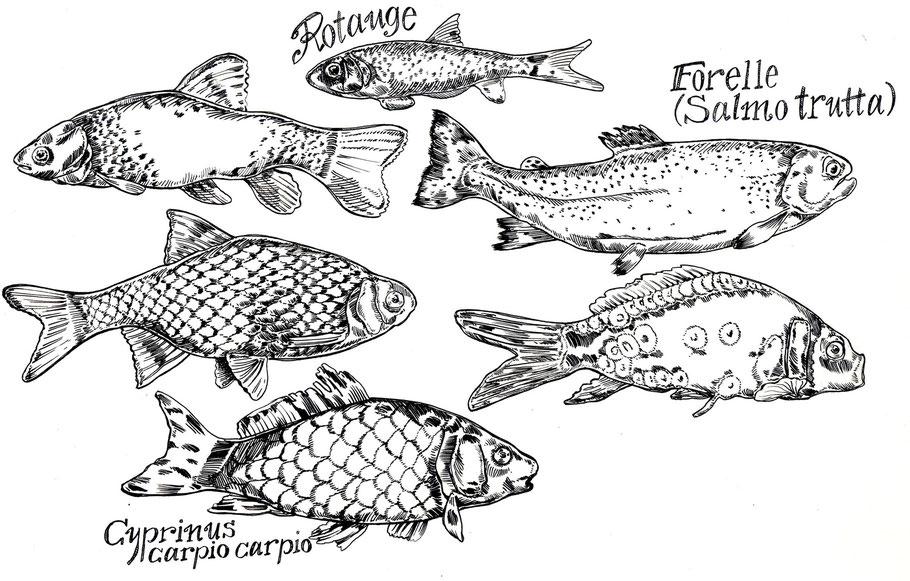 Fische Forelle Karpfen Rotauge Stahlfederzeichnung © Caroline Ronnefeldt