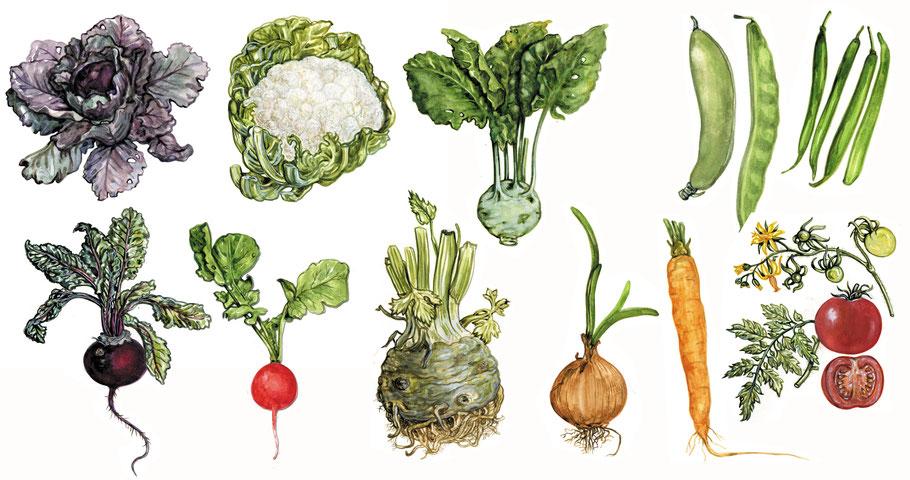 """acht Gemüsesorten, Gouache aus """"Mein wunderbarer Küchengarten"""" ars Edition 2016 © Caroline Ronnefeldt"""