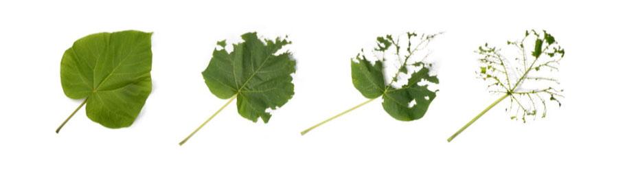 Paulownia Blätter