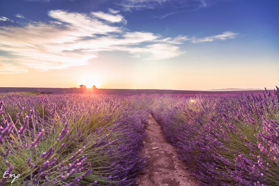 Champs de lavande à valensole au coucher de soleil
