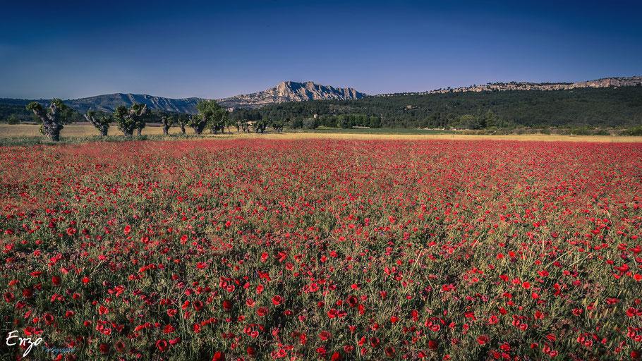Coquelicot en Provence - Aix en provence - Beaurecueil - Sainte Victoire