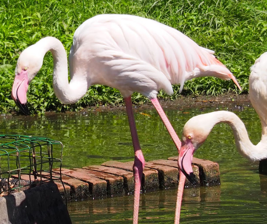 Flamingo ouwehands dierenpark