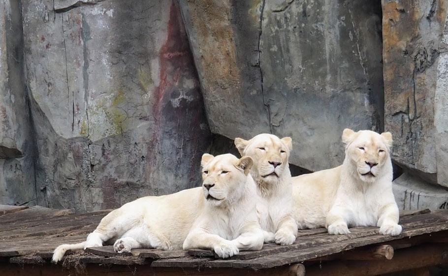 Dierentuin leeuwen