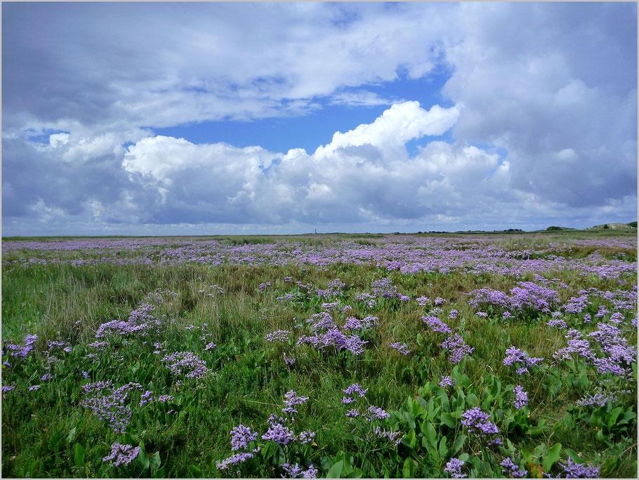 Der Weg durch die Salzwiese zur Möwendüne - einmalig schön, der Strandflieder