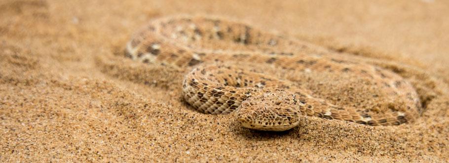 Sandviper - Namib