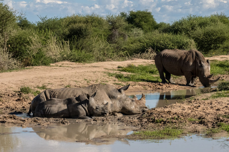 Rhinos / Nashornfamilie - somewhere in Namibia