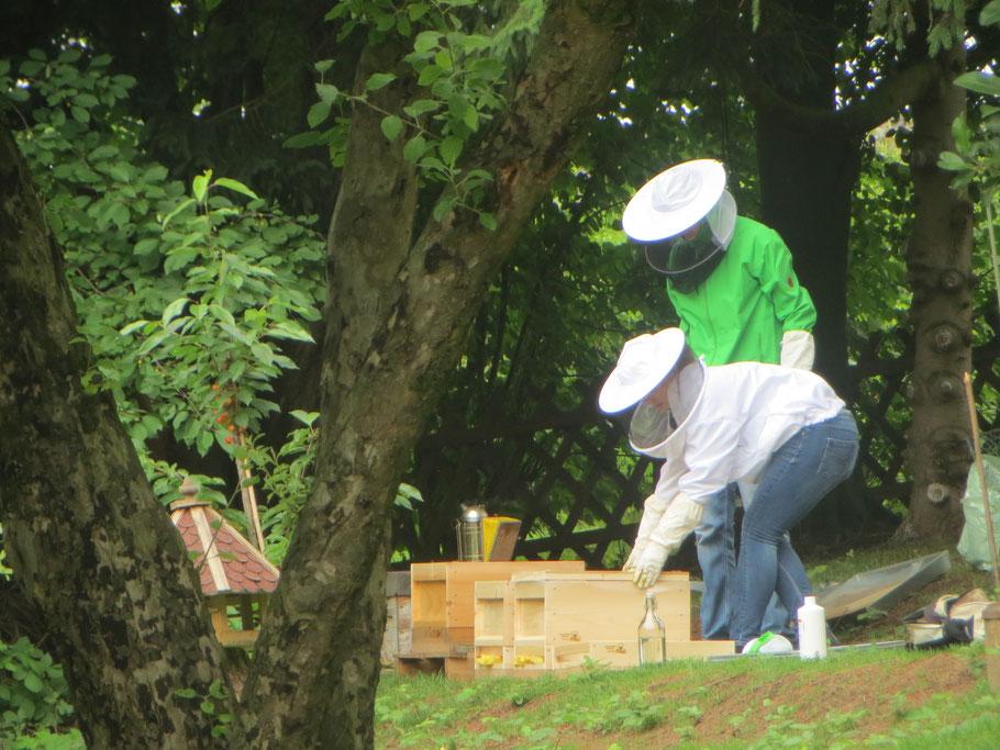 Arbeit an den Ablegern - Die neuen Völker werden mit Milchsäure gegen die Varroa-Milbe behandelt.