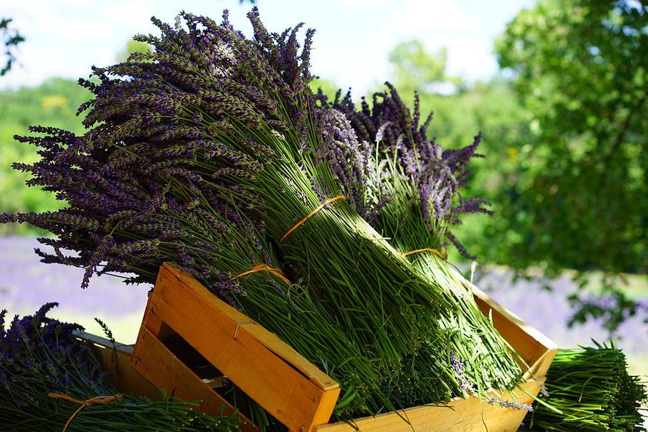 Lavendel eines der natürlichen Kräuter für Ihren ruhigen Start in die Nacht