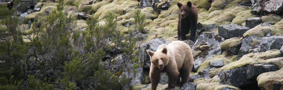 bruine beer in de bergen