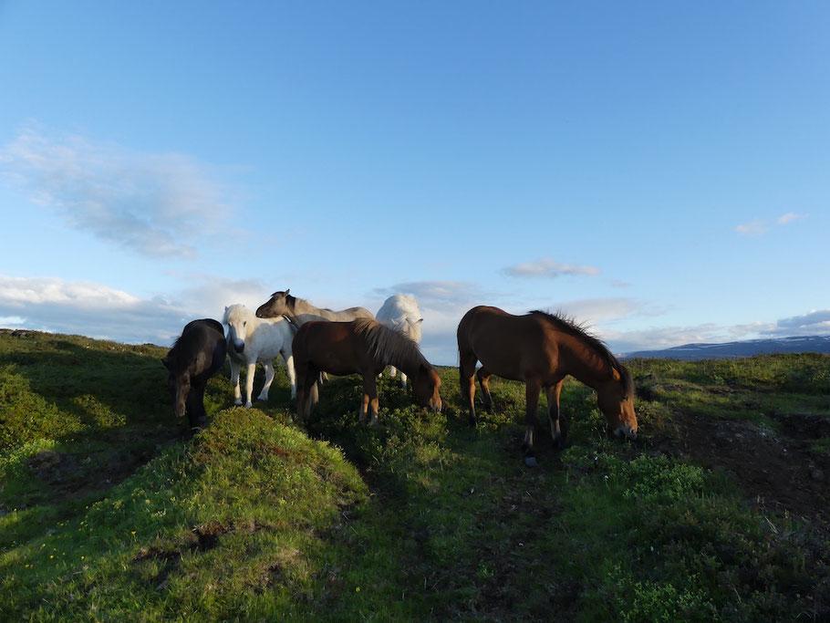IJslandse paarden-paardrijden-op-IJsland-adressen.jpeg