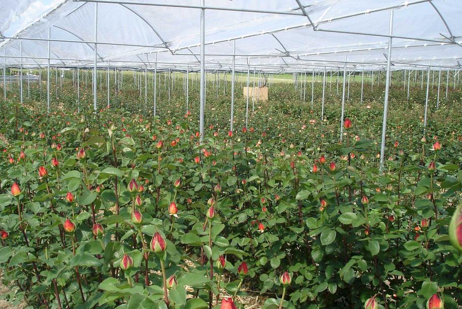Mai 2014 | Das sind unsere Rosen in der Überdachten Anlage, kurz vor Erntebeginn.