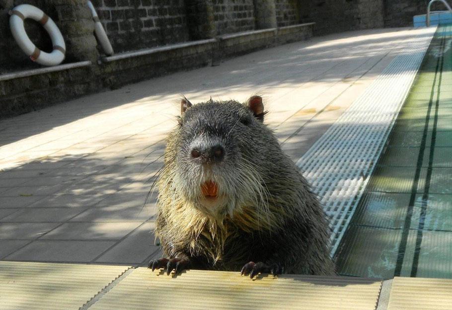 """Foto von - Cillo the Nutria Fan Club - hier hatte er gerade """" eine Runde gedreht"""" im Pool"""