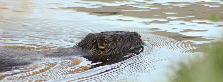 Nutria schwimmt entlang des Ufers