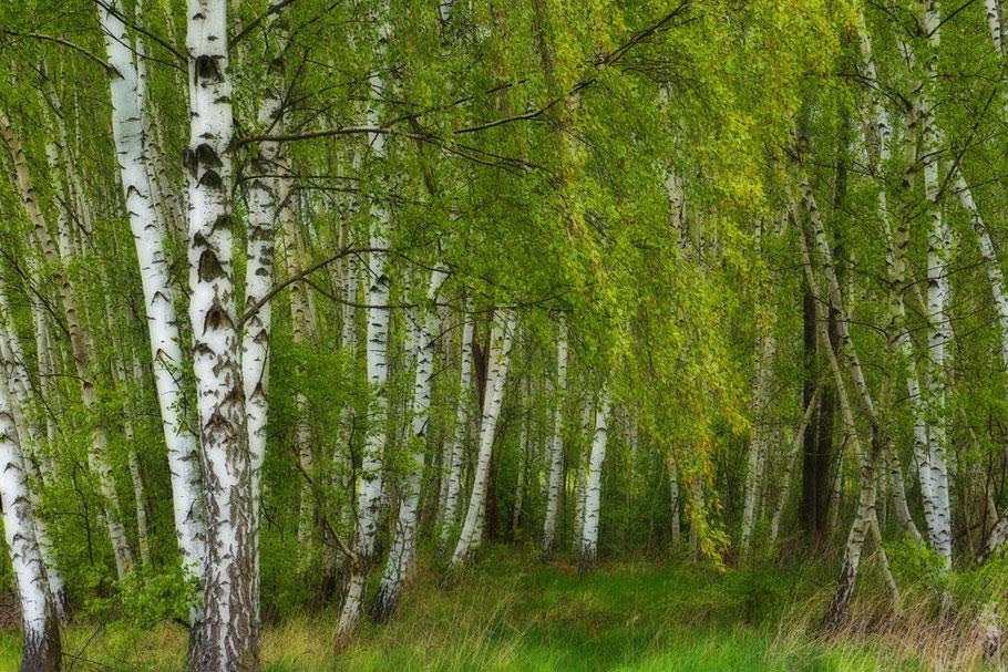 Kleiner Birkenwald im Frühjahr. Frisches Grün. Verträumte Anmutung. Orton Effekt.