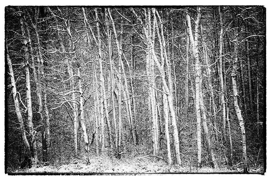 Ausschnitt. Junge Birken im Schnee.