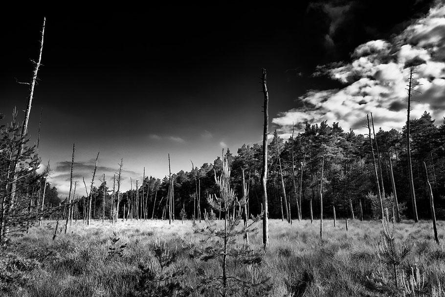 SW Aufnahme, Hohlbachmoor, Binsengras, abgestorbene Bäume dahinter Waldrand. Sehr dunkler Himmel, strahlende Wolken.