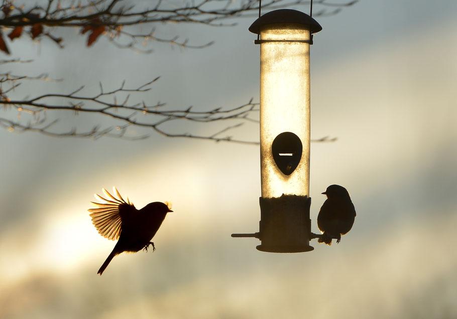 Gartenvögel füttern