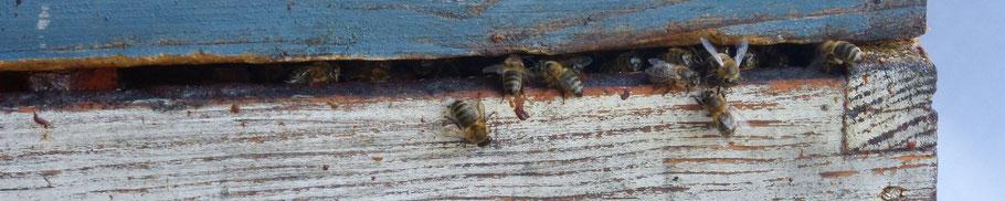 ©La Ruche de Pinsolle / Abeilles au sortir de leur ruche / Ruchers 2014 / Image de la galerie photo sur www.laruchedepinsolle.com