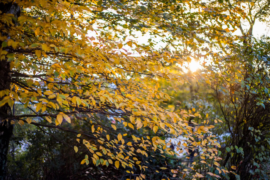 Branches with yellow leaves with sunshine shining through and more trees in the background.