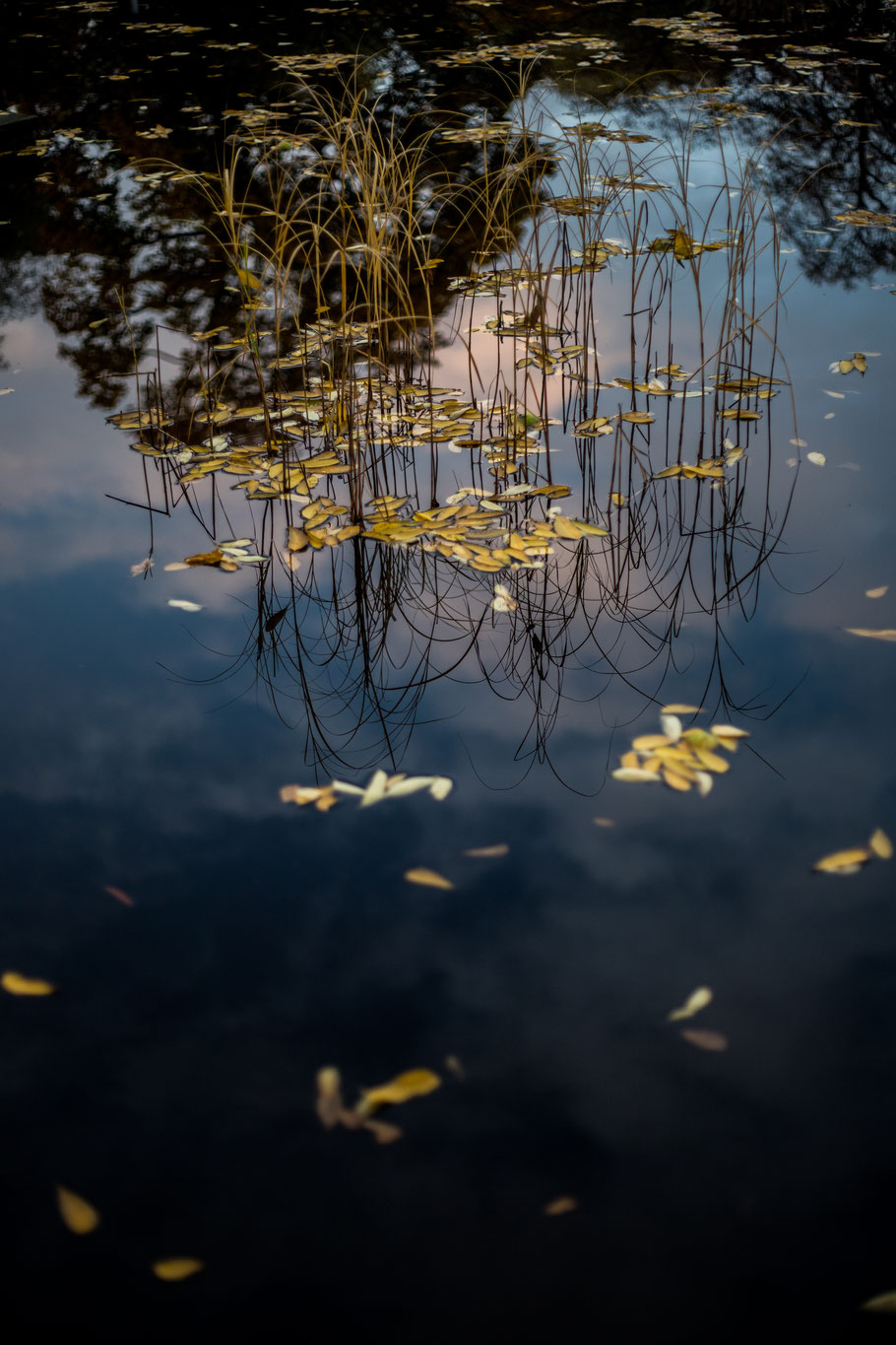 Water plants poking out of the water of a pond, yellow leaves floating on the surface. The partially cloudy sky, trees, and the water plants are reflected on the surface.
