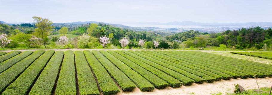 有機茶 茶畑 宝箱