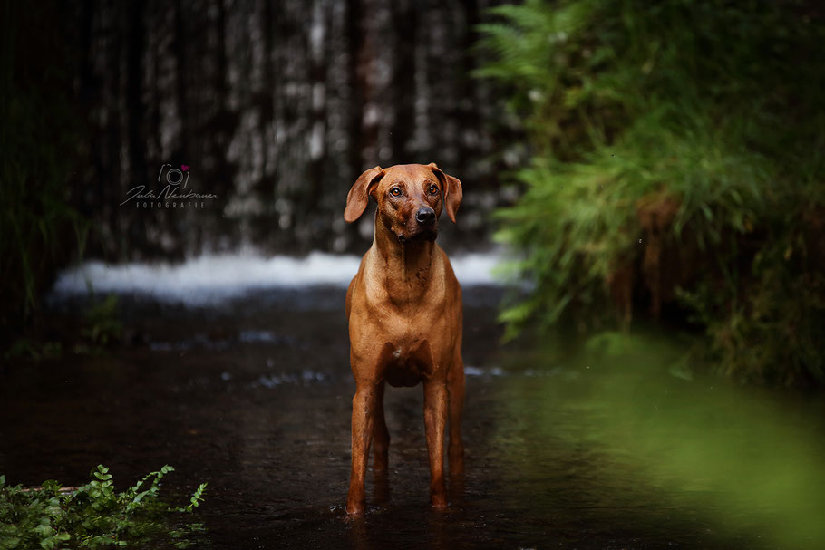 Rhodesian Ridgeback_Hund_Oer-Erkenschwick_Fotografin Julia Neubauer_Marl_Wasserfall